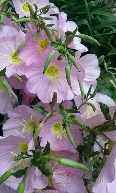 예쁜꽃추천 향달맞이