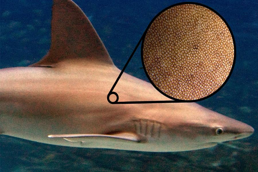 75f2e173b76 상어의 피부는 외관상으로 볼 때에는 매끄러워 보이겠지만 사실 상어의 피부는 비늘로 덮여 있습니다. 이 비늘은 현미경으로 확대시켜 보면  리블렛(riblet)이라고 ...