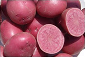 피부 보호에 탁월한 색깔 감자 '자영, 홍영'